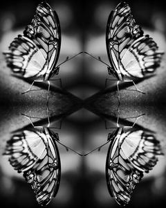Papiliones No 1