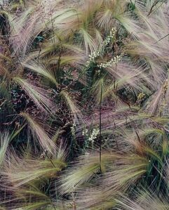 Foxtail Grass, Colorado