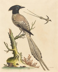 The Black and White Crested Bird of Paradise
