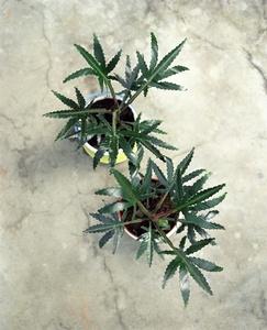 Cannabis Polonica Legalis - Olim Ficus Elastica Robusta