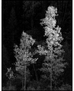 3 Aspen Trees