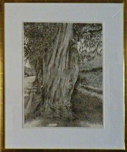 Eucalyptus Tree Santa Barbara (Montecito)
