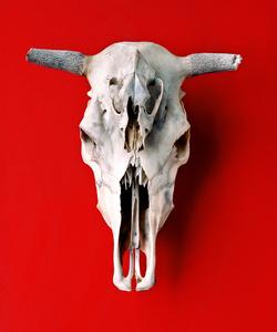 Cráneos de Vaca y Coyote