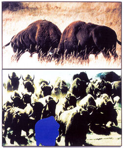 Two Bison/Group of Bison (With Blue Shape)