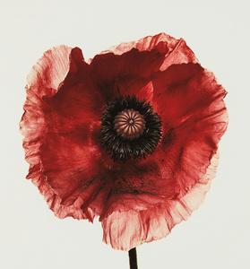Poppy: Burgundy, New York