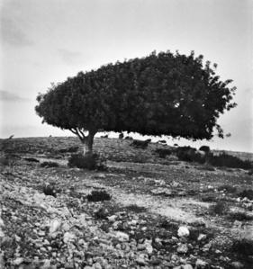 Sycamore Tree, Galil