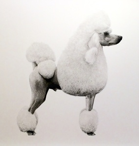 Poodle I
