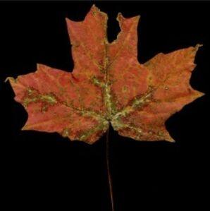 Red Dinosaur Maple Leaf, Vermont