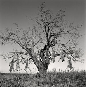 Mesquite Tree with Coyotes, Lambshead Ranch, Albany, Texas, January 9, 1998