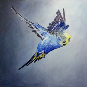 Frank Greenaway, Blue Budgerigar with yellow head in flight, side view (gty im. 73507000), No 1