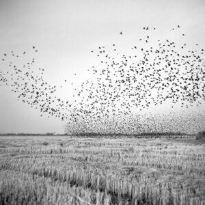 Birds in Field, Mound Bayou,Mississippi