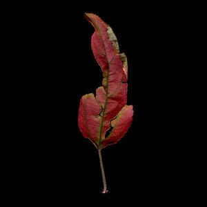 Crabapple Skinny Leaf