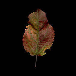 Crabapple Iridescent Leaf