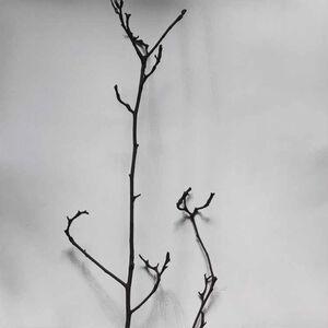 Whispers of Trees-Magnolia Denudata