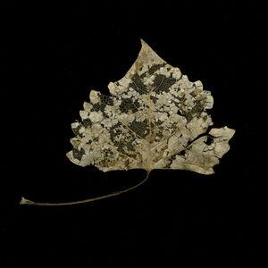 Winter Cottonwood Filagree Leaf