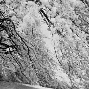 027 - Full blossom on Chidoriga Fuchi