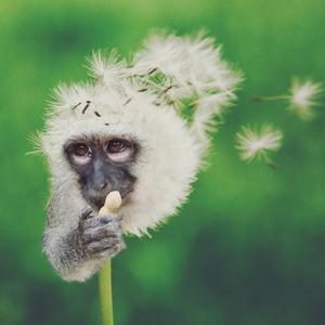 Dandy Monkey