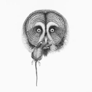 Great Grey Owl ( Strix Nebulosa)