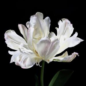 Tulipe Liberto