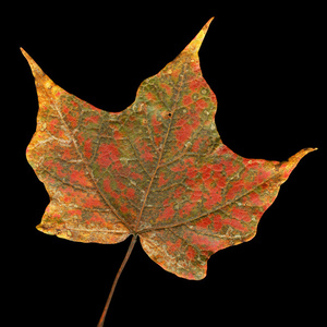 Christmas Maple Leaf, Vermont