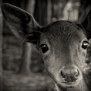 Inquisitive Fawn
