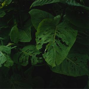 Riesenblatt