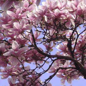 Magnolia Series - Summer