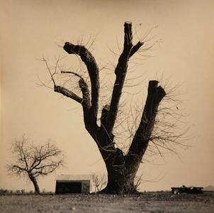 Pollard Tree, California