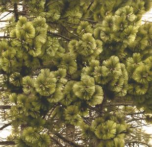 Landscape Material (Pine)