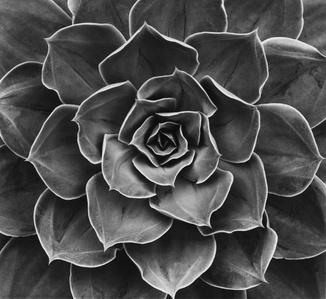 Succulent: Echeveria Subrigida Hybrid