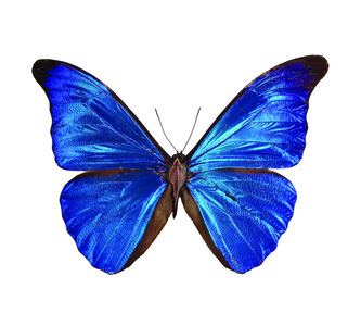 Morpho Rethenor FROM THE IMAGOS SERIES