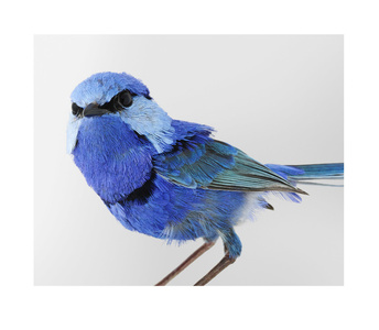 'Pepe No.1' Splendid Fairywren