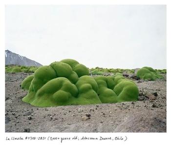 La Llareta #0308-2B31 (3000+ years old; Atacama Desert, Chile)