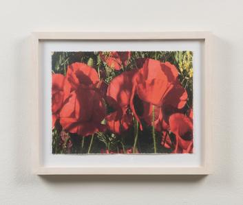 Poppies #10