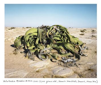 Welwitschia Mirabilis #0707-22411 (2,000 years old; Namib Naukluft Desert, Namibia)