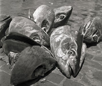 Tuna catch. Sicily, Italy.