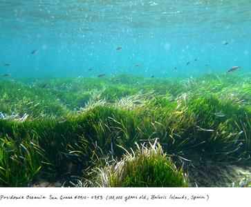Posidonia Sea Grass #0910-0753 (100,000 years old;  Baleric Islands, Spain)