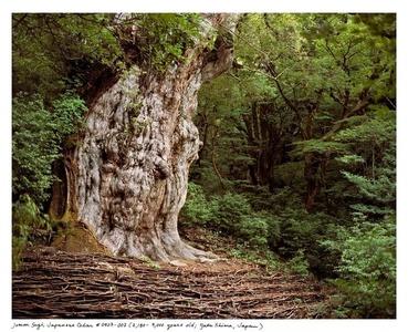 Jomon Sugi, Japanese Cedar #0704-002 (2,180 – 7,000 years old; Yaku Shima, Japan)