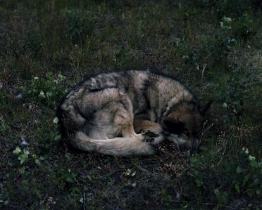 Wolf, Yukon