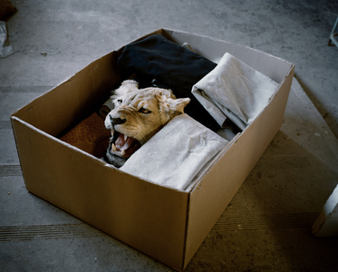 Lioness in a Box, Eastern Cape, South Africa