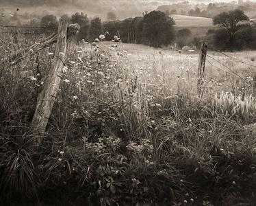 Queen Anne's Lace, Lady Borton's Farm (#45)