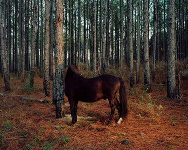 PINE FOREST PONY