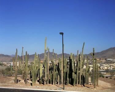 Relocated Saguaro Cactus