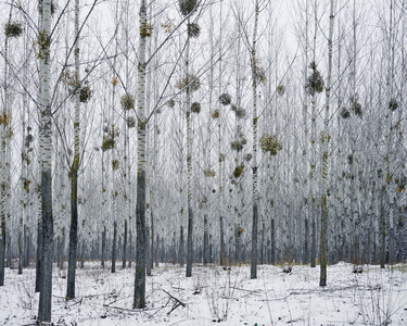 Forest with Mistletoe (near Oradea, West Romania)