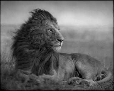 Lion Before Storm V