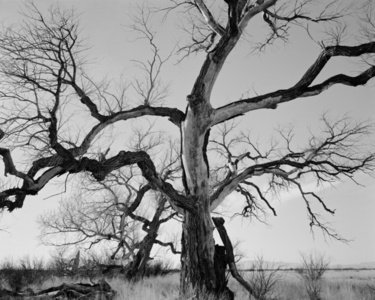 Dead Cottonwood
