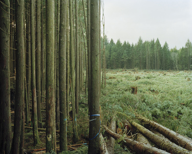 Freshly Felled Trees