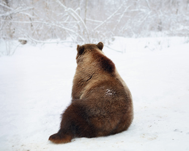 Sitting Bear (near Zarnesti)