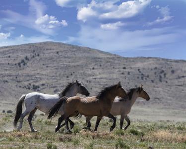 Sulphur Springs Wild Bachelor Stallion