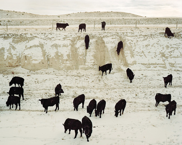 Steers Coming to Feed, Chugwater, Wyoming